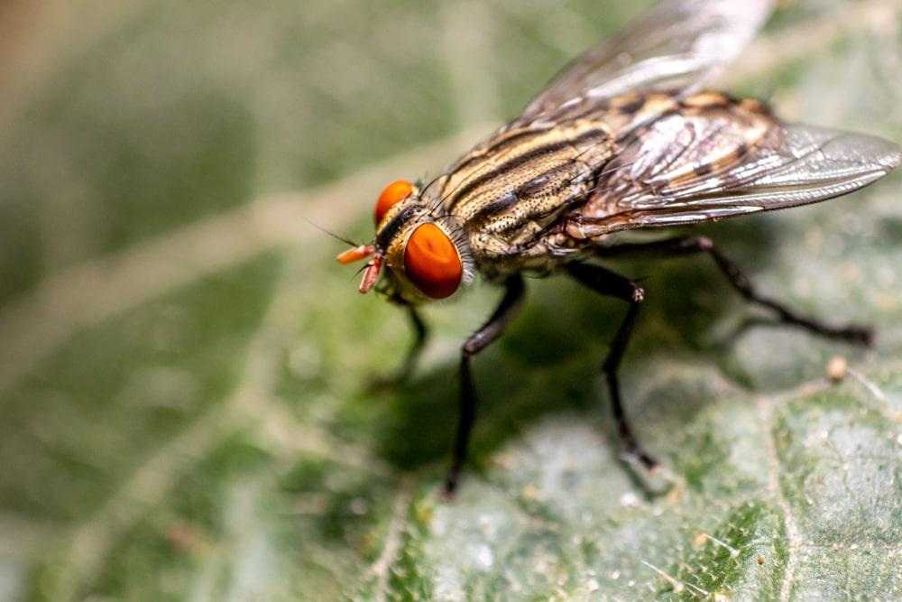 La mouche, un insecte nuisible